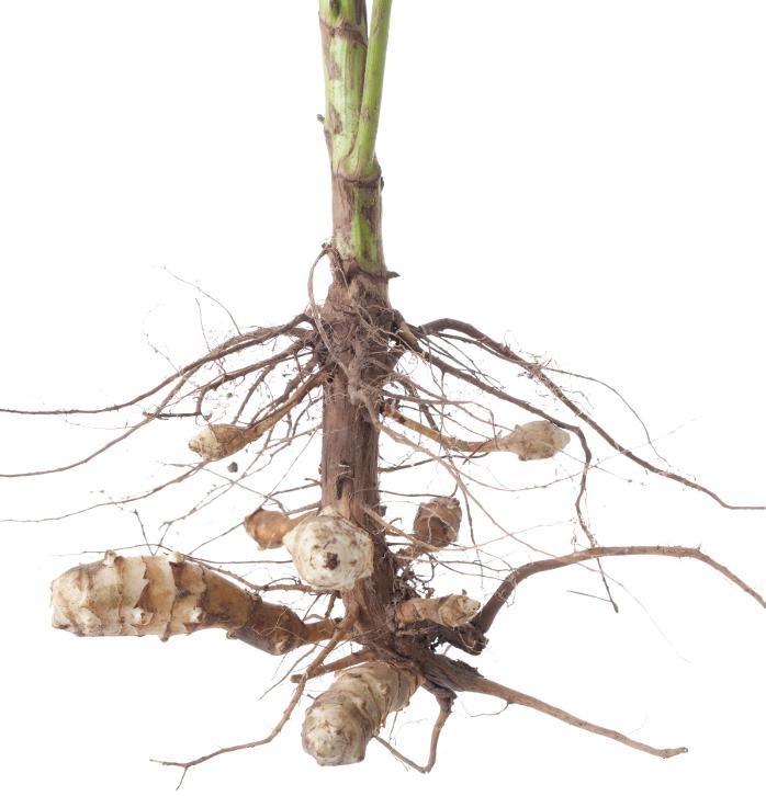 Aardperenplant