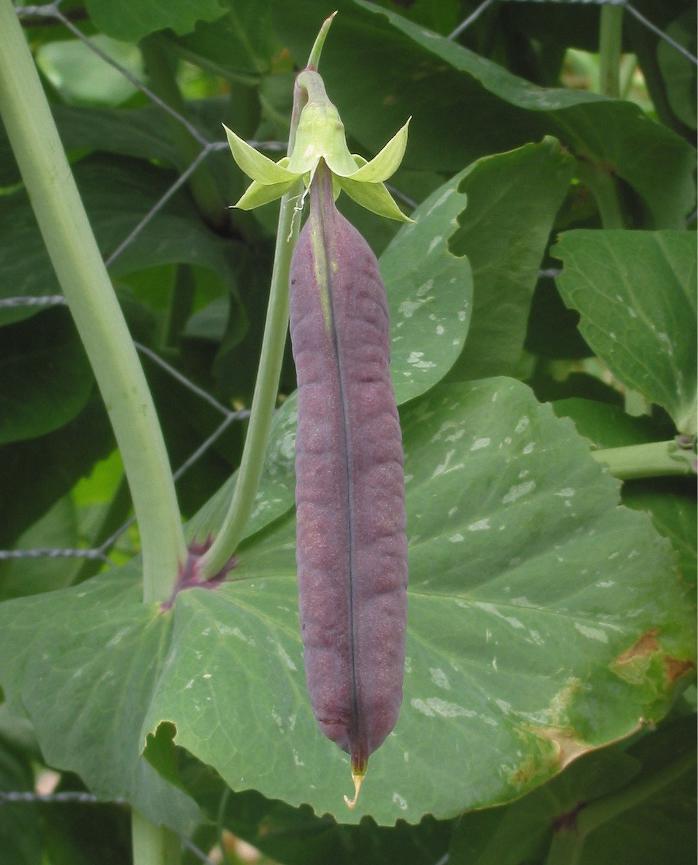 Kapucijnerplant