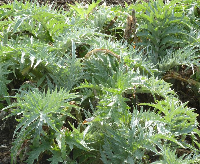 Kardoenplant