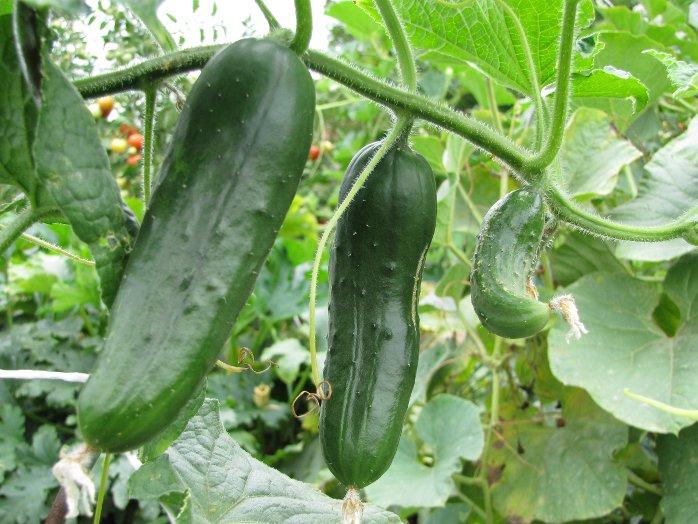Komkommerplant afbeelding 2