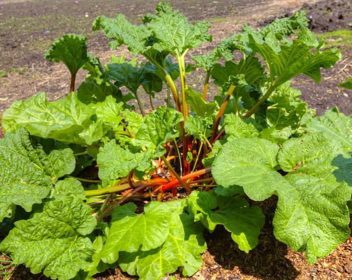 Rabarberplant
