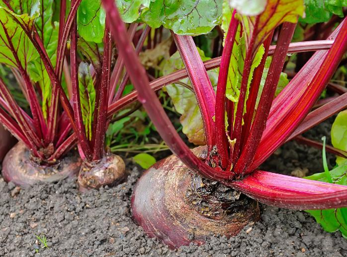 Bietenplanten