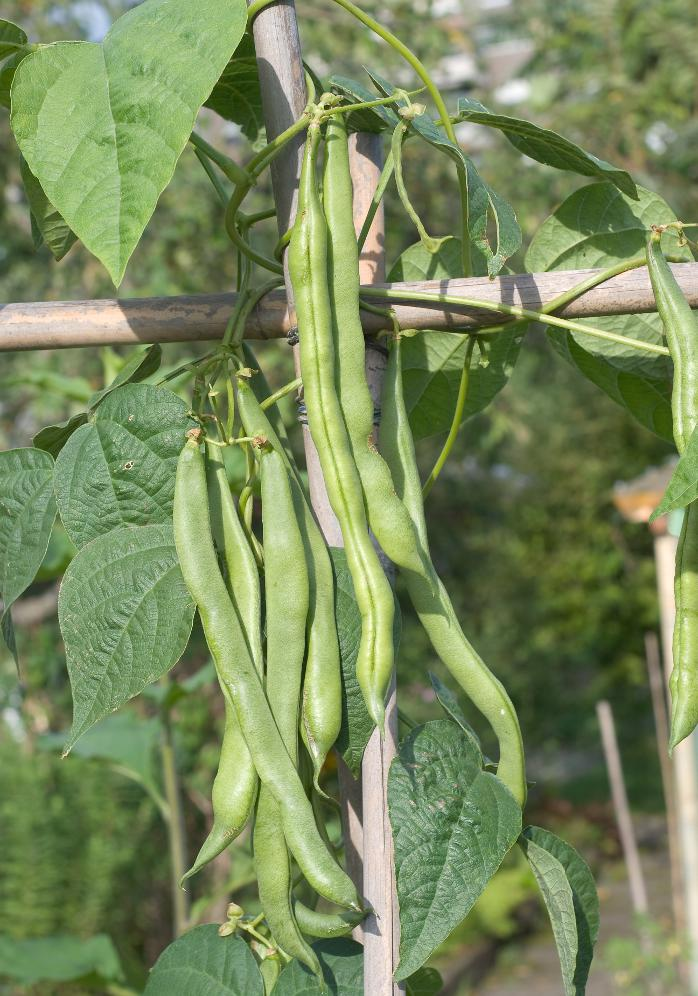 Spekbonenplant